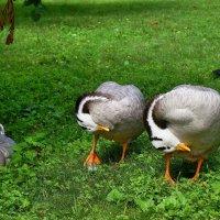 Мои любимые горные гуси! :: Татьяна Помогалова