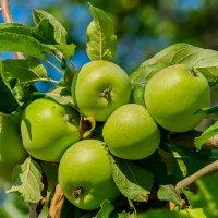 Кому яблоки ? :: SxSx .