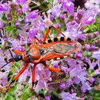 Клоп.Клоп-хищнец Rhynocoris iracundus. :: vodonos241