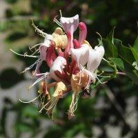 Цветок жимолости :: Natalia Harries