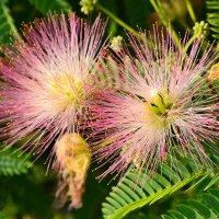 Красота цветения :: Виктор Шандыбин