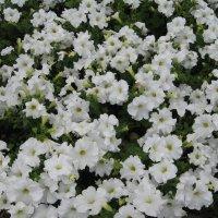 Цветы :: IRENE N (miss.nickolaeva)