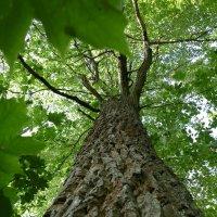 Дерево покрытое листвой. :: Эрик