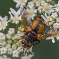 дикая пчела :: Лада