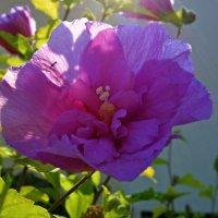 Розовая нежность... :: Galina Dzubina