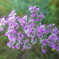 Цветы Хакасии :: Владимир Звягин