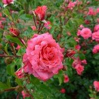 Роза :: Nina Yudicheva