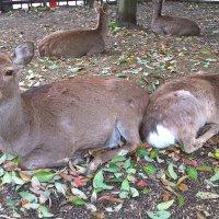 Нара парк оленей Япония :: Swetlana V