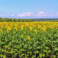Желтая полоса поля :: Юрий Стародубцев