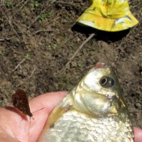 Ручная бабочка :: Антонина Балабанова