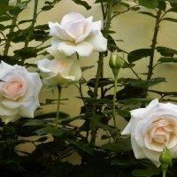 Розы Вртбовского сада :: Елена Гуляева (mashagulena)