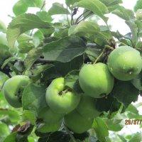 Яблочки. :: Зинаида