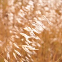 Золотистая трава! :: Юлiя :))