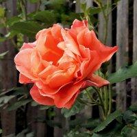 Лето, роза, огород. :: Сергей Розанов