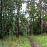 В сосновый лес :: Александр Садовский