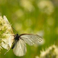 поцелуй бабочки :: Олег Петрушов