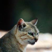 представитель древней породы Египетской кошки :: Валерия Халангот