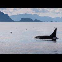 Касатка в Норвежском море :: Павел Лунькин