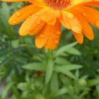 Flower :: Елена Кашлач