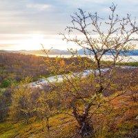 Карликовая березка в лучах полночного солнца :: Ольга Соболева