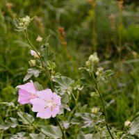 Полевые цветы... :: Ирина Дегтярева