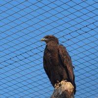 Хищная птица :: Сергей Михальченко