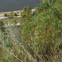 полыни запах и ягод цвет :: елена елена