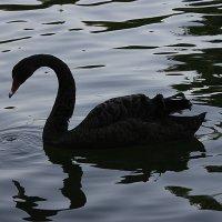Черный лебедь - заморская птица... :: Olga Ro