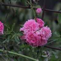 Розы :: Вера N