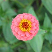 Дачные цветы :: Ольга Зарецкая