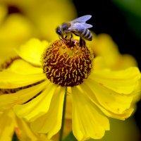 Пчёлка. :: Марина Анохина