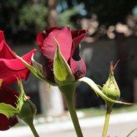 роза :: Багдат Сайнанов