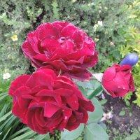 """Роза """"Epoca"""" Грандифлора (Grandiflora) :: alexeevairina ."""