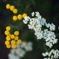 Жёлтое и белое :: Анжела Пасечник