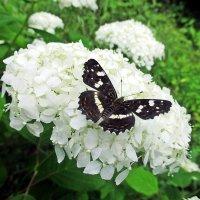 Бабочка на гортензии :: Лариса