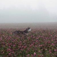 Клеверное море :: Крылова Светлана