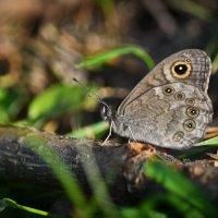 Бабочка :: Алексей (GraAl)