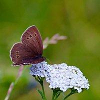 Бабочка на тысячелистнике :: Анатолий Иргл