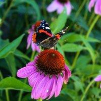 Из жизни бабочек 2 :: Елена Митряйкина