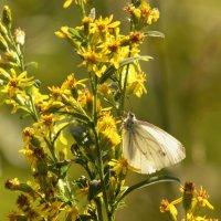 Белая бабочка на полевых цветах :: Aнна Зарубина