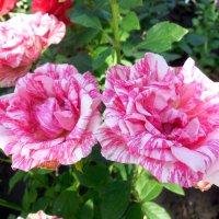 Царица цветов :: Надежда