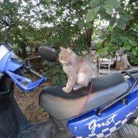 Кот мотоциклист :: Вера Щукина