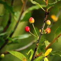 Июльские ягоды :: Ирина Румянцева