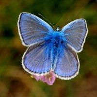про бабочек на цветах 5 :: Александр Прокудин