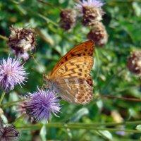 Бабочка - перламутровка Аглая :: Юлия Ошуркова
