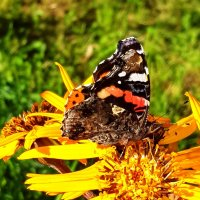 Бабочка Адмирал (Vanessa atalanta) на бузульнике :: Генрих