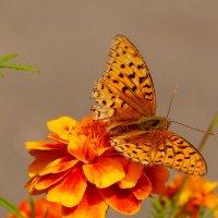 про рыжих бабочек 5 :: Александр Прокудин