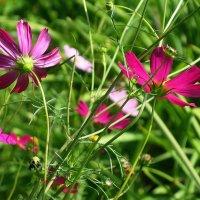 Космеи нежные цветки :: Маргарита Батырева