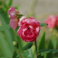 Красиво увядают розы... :: * vivat.b *
