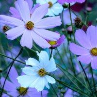 Городские цветы :: Лидия Суюрова